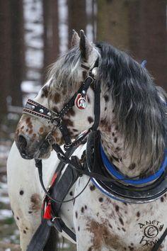 Nacho by Aneta Hnyk, Czech Republic. Noriker Horse, Andalusian Horse, Appaloosa Horses, Friesian Horse, Arabian Horses, All The Pretty Horses, Beautiful Horses, Black Horses, Big Horses