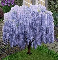 Bought as a tree.looking for how to keep as a tree for this type of display. Indoor Trees, Flowering Trees, Growing Gardens, Ornamental Trees, Wisteria Tree, Planting Flowers, Pretty Plants, Landscaping Plants, Beautiful Tree