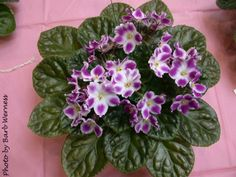 Glimmer, African Violet Society of America | Promoting and Growing the African Violet since 1946