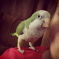 """Tessie the Quaker parrot  ~ looks like my """"Sid"""""""