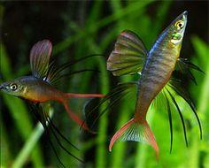 For BiOrb // featherfin rainbow fish. Ocean Aquarium, Tropical Fish Aquarium, Freshwater Aquarium Fish, Planted Aquarium, Fish Aquariums, Aquarium Ideas, Biorb Fish Tank, Goby Fish, Pet Fish