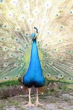 O exibido pavão do Condomínio Residencial Parc de France