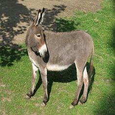 """""""Using a Donkey as a Livestock Guardian: the Pros and Cons"""" From MOTHER EARTH NEWS magazine."""
