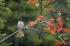 Siberian Jay enjoying the autumn colours in Kuusamo, Lapland, Finland. Lappland, Different Seasons, Four Seasons, See Picture, Lapland Finland, Autumn Colours, Pictures, Photos, Gallery