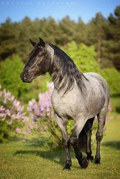 Beautiful Blue Roan Noriker horse - photo by Cecylia Leszczak Most Beautiful Animals, Beautiful Horses, Beautiful Gorgeous, Noriker Horse, Andalusian Horse, Friesian Horse, Arabian Horses, Welsh Pony, American Quarter Horse