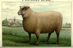 Sheep   from Mrs. Beeton's Household management 1907