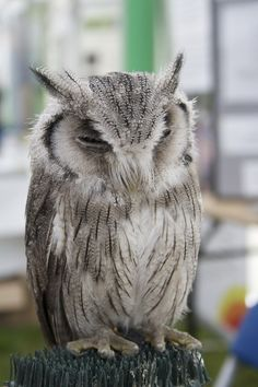 "Identification The African Scops Owl has a distinctive ""prrrp"" call which occurs around every 5 seconds:"