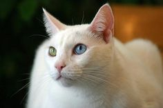 khao manee cat4 20 of The World's Most Expensive Cat Breeds, Costing Up To $100,000