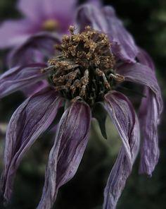 Dead flower by ~chewbakka on deviantART