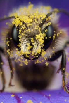 bees eyes and pollen