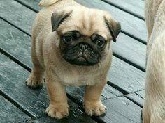 Chubby Pug
