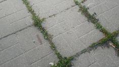 Jak na plevel bez chemie-nejlépe vřelou vodou. Sidewalk, Gardens, Chemistry, Walkway, Garden, Garden Types, Walkways, Tuin, House Gardens