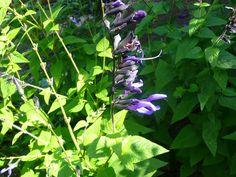 Black Blue Salvia