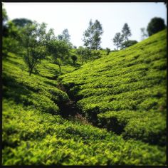 Somerset Tea Estate, (Dilmah) Ceylon