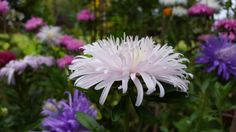 Ostrich Plume Asters. Such a delightful flower, holds the essence of laughter!