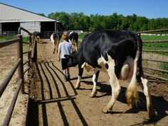 A cow following Jack on the way to the milking parlor