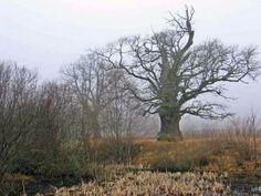 Talsi - old tree