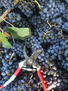 #Harvest time...photo by Eleonora Minello