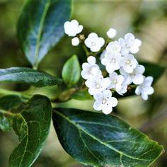 Viburnum   Tinus   Lucidum   10L   Plant   Gardenshop