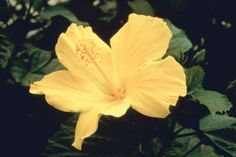 The hibiscus, available in hardy or tropical varieties, adds a splash of color to your garden with large, showy flowers and attractive foliage. Tropical hibiscus (Hibiscus rosa-sinesis) is hardy to . Hibiscus Bush, Growing Hibiscus, Hibiscus Tree, Hibiscus Garden, Hibiscus Rosa Sinensis, Yellow Hibiscus, Hibiscus Plant, Hibiscus Flowers, Overwintering