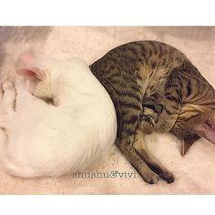 #可愛ゆす #にゃんず #ビビシュシュ 白いラグの上だと。シュシュが、同化する 笑  #猫#🐈#cats #cat #おうち猫#白猫#キジトラ#にゃんすたぐらむ #catstagram #兄弟猫#6ヶ月#ねこすたぐらむ #にゃんこ#お家#愛猫#可愛い#💕#イケメン猫#白ネコ#しろねこ#白ねこ