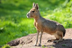 Patagonian Mara Dolichotis patagonum, is a relatively large rodent in the mara genus. It is also known as the Patagonian cavy, Patagonian hare or dillaby.