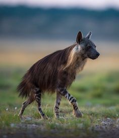 "beautiful-wildlife: ""Brown Hyena in the Kalahari by Christophe JOBIC """