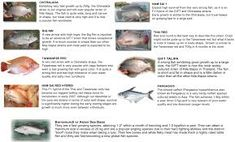 Image result for Taiwanese red tilapia Tilapia, Aquaponics, Fresh Water, Filter, Red, Image, Philtrum, Cichlids