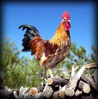 Male Poultry Photo Contest - Finalist Poll   Cock of the Walk!