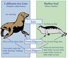 """Sea Lion vs Seal - but names cause confusion here. Fur seals are more closely related to sea lions than """"true"""" seals; the main difference between them is their fur. Sea lions and fur seals are also sometimes called """"eared seals."""""""