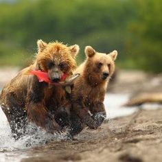 Fishing Bear Cubs