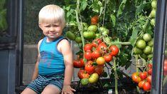 85 kg tomater - Growcamp