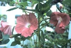 Morning Glory Seeds ~ CHOCOLATE ~ Climbing Ipomoea Vine ~VERY RARE ~  10 Seeds My Flower, Flowers, Rare Plants, Climbing, Orchids, Vines, Exotic, Seeds, Morning Glories