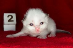 2014: Fillmore A Zwollywood Cat. 2 Weeks old Ragdoll kitten, seal colourpoint. Cars litter.