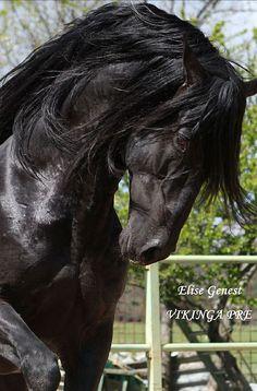 Horsespre   HALAGADOR CEN - Homozygous black Cárdenas PRE stud