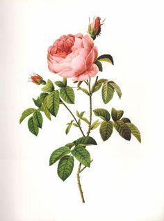 GROßE Vintage REDOUTE Rosa Burgund Rose 16 botanischen Drucken print botanischen Drucken Exlibris Kunst Druck 1970 Pflanzen Wand Kunst