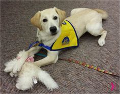 Holly, a Canine Companions for Independence puppy, plays with her new cat toy during her first day at the Eukanuba headquarters. #HeroLitter @ccicanine