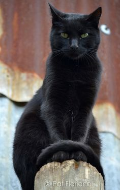 Regal black cat..  ♥