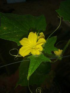 Pepino caipira