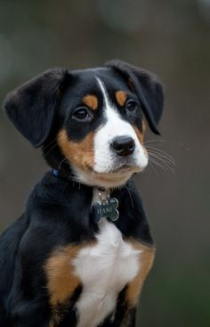 Training Greater Swiss Mountain Dogs – Commands Every Dog Should Know ! Dog Training Courses, Best Dog Training, Great Swiss Mountain Dog, Hungarian Dog, Dog Commands, Easiest Dogs To Train, Dog Training Techniques, Different Dogs, Dog Behavior