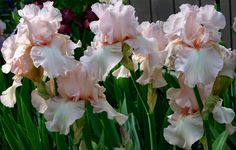 World of Irises: TALL BEARDED IRIS, OLDIES, DYKES MEDAL WINNERS BEFORE 1985