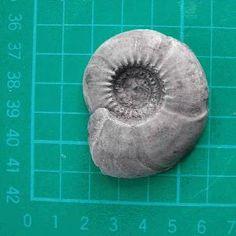 Gastrioceras carbonarium