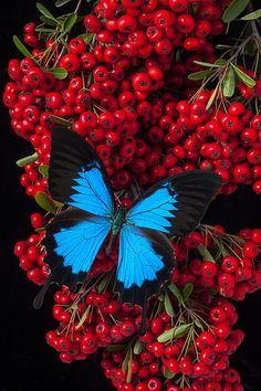 Pyracantha And Butterfly Photograph by Garry Gay