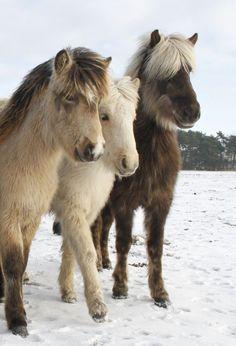 Öskjuhlíð von Faxaskjól Öskjuhlíð von Faxaskjól - Art Of Equitation Tiny Horses, Horses And Dogs, Cute Horses, Horse Love, Animals And Pets, Cute Animals, Most Beautiful Horses, All The Pretty Horses, Animals Beautiful
