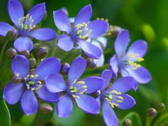 Jamica's National Flower.....Lignum Vitae