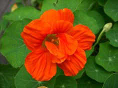 capucine flower