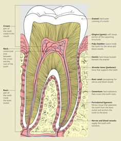 Anncredible: Do Root Canals Cause Breast Cancer? health education health education activities health education for kids health education fun health education lesson plans health education tips Dental Hygiene School, Dental Assistant, Dental Health, Oral Health, Bone Health, Dental Care, Health Tips, Dental Terminology, Remedies For Tooth Ache