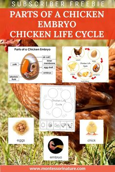 Join to download: Parts of a Chicken Embryon poster and label cards for matching or lableling Blackline master Chicken life cycle poster Chicken life cycle 3 part cards Chicke life cycle student worksheet for cutting, pasting and coloring. Cycle Parts, Cycle 3, Chicken Life, Life Cycles, Montessori, Free Printables, Coloring, Join, Label