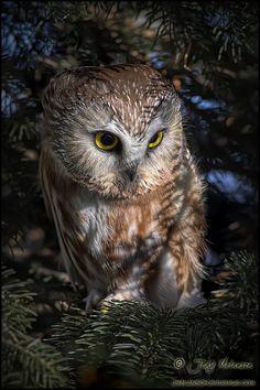 Northern Saw Whet Owl by Jody Melanson / Owl Photos, Owl Pictures, Beautiful Owl, Animals Beautiful, Animals And Pets, Cute Animals, Saw Whet Owl, Horned Owl, Owl Bird