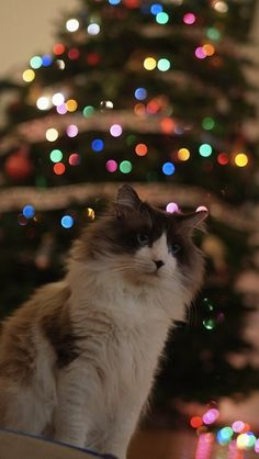 The eleventh cat of Christmas… | Community Post: The 20 Cats Of Christmas